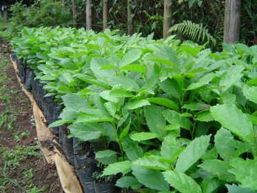 Colégio Agrícola de Taquarivaí recompõem reserva florestal